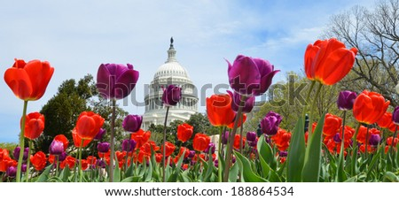 The Capitol with colorful tulips foreground in Spring - Washington DC, United States of America