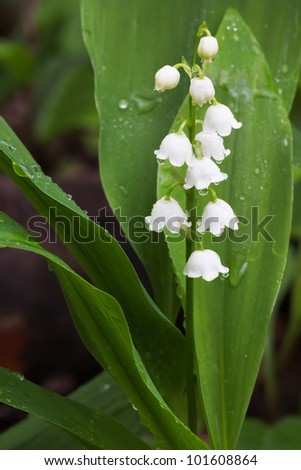 The caps of a lily of the drip from a recent rain fall. the green leaves of the flower surround the small white bell-flowers. - stock photo