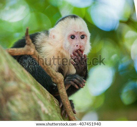 The Capuchin on a tree. The Capuchin costs on a branch of a tree . The white-headed capuchin (Cebus capucinus), also known as the white-faced capuchin or white-throated capuchin  - stock photo