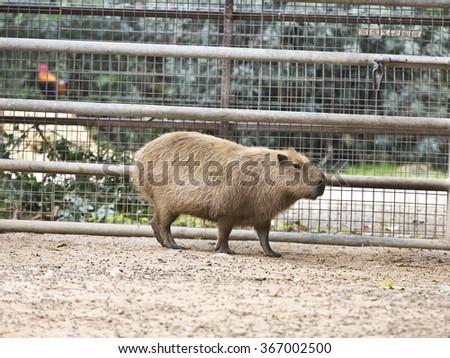 The capybara at the zoo - stock photo