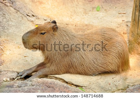 The capybara is the largest rodent - stock photo