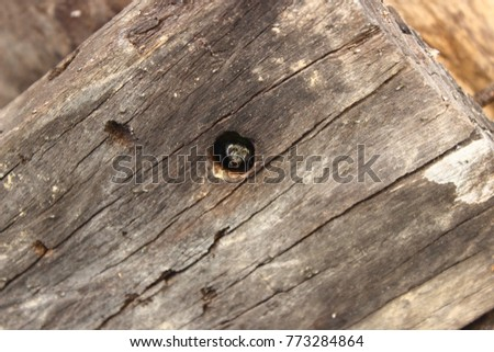The Carpenter Bee Is Living In Its Nest Life Cycle Of