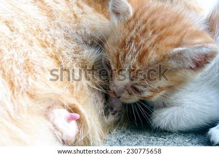 The cat feeds a kitten - stock photo