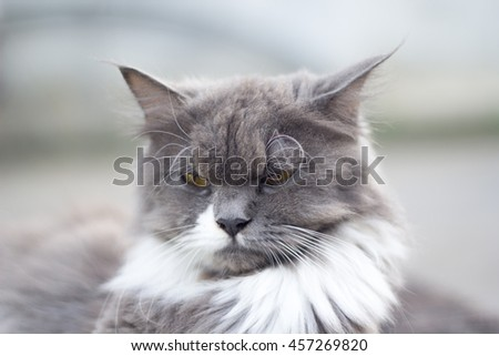 The cat is on the table In the background blurred colorful cute cats close up funny playful young cat , domestic cat cat cat relaxing Cats play at home relaxing , elegant cat 7 - stock photo