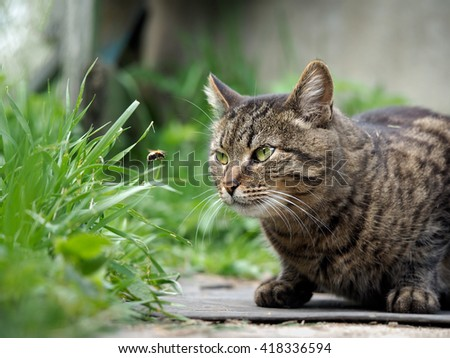 The cat is watching the flight of the bumblebee. Cat large, gray, striped. Conceptually - animals outdoor recreation. Cat hunts for insects. Insect bites and allergies in animals - stock photo