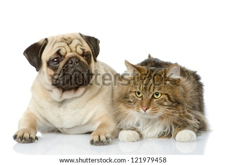 the cat lies near a dog. looking at camera. isolated on white background