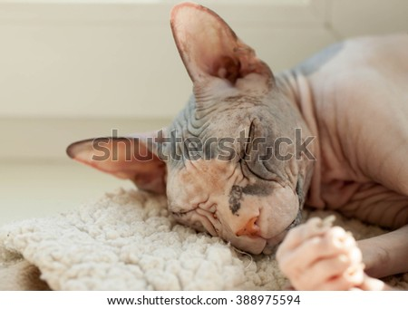 """The cat of breed """"The Don sphinx"""" sleeps at a window - stock photo"""