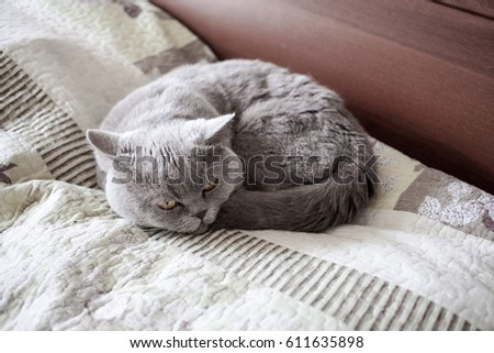 The cat on the bed curled up. British Shorthair