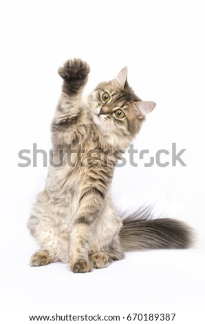 The cat raised its paw up, cat gives five