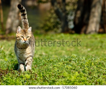 The cat runs on a lawn having lifted a tail. - stock photo