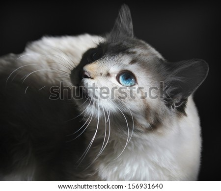 The cat with sticking whisker looks upwards on a black background