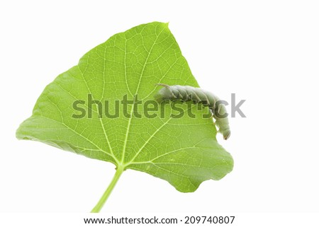 The Caterpillar Eating The Leaves Of Beans