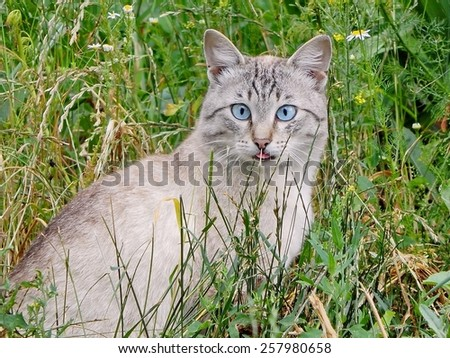 The cats. Wild wild cat with blue eyes. - stock photo