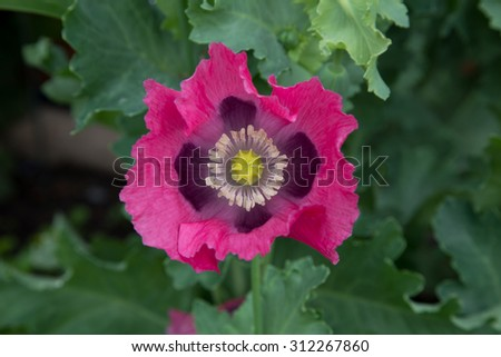 The center of a single petaled,a bold  Hot Pink, poppy flower,  - stock photo