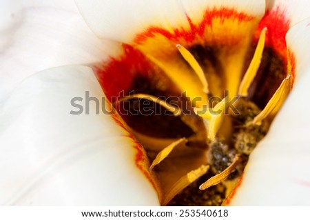 the center of a white Tulip closeup - stock photo