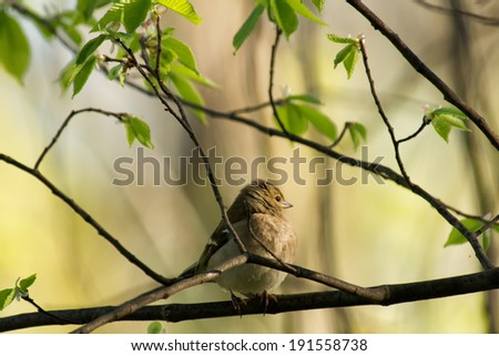 the chaffinch on a tree branch - stock photo
