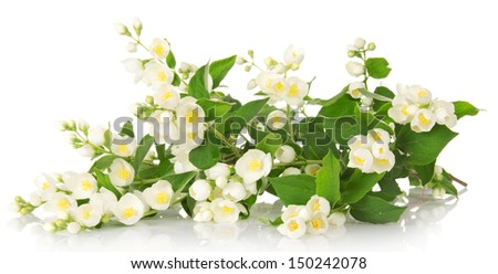 The charming gentle branch of an odorous jasmine isolated on white - stock photo