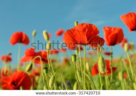 The charming landscape with poppies in sunny day against the sky (relaxation, meditation, harmony, love, feelings - concept) - stock photo