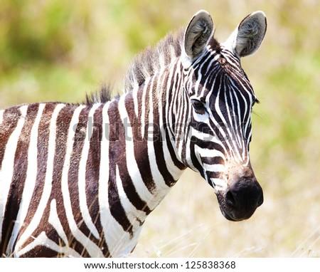 the charming zebra is grazed in the savanna - stock photo