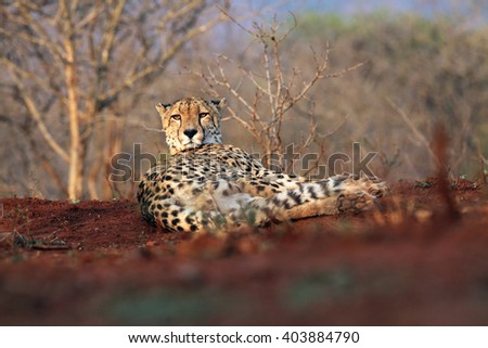 The cheetah (Acinonyx jubatus), also as the hunting leopard resting on red soil - stock photo