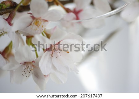 The Cherry Blossoms At The Window-Side