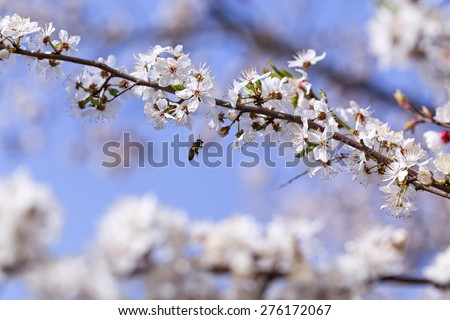 The cherry blossoms in early May. Sprig of fruit tree on sky background.  Flowers begin to blossom on a branch.