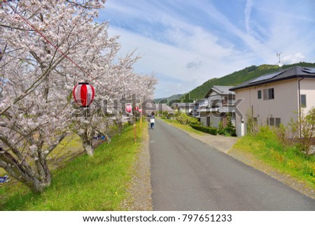 The cherry blossoms which bloom along the river flowing by a residential area of Mori-machi, Shizuoka, Japan