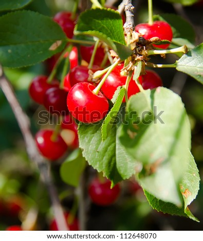 The cherry on a branch - stock photo