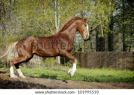the chestnut horse in action - stock photo