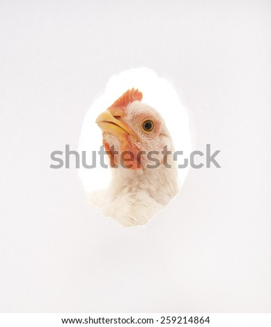 The chicken who looks out in an aperture in a paper