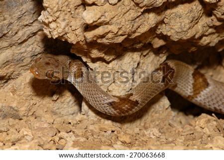The Chihuahuan Lyresnake photographed in Western Texas. - stock photo