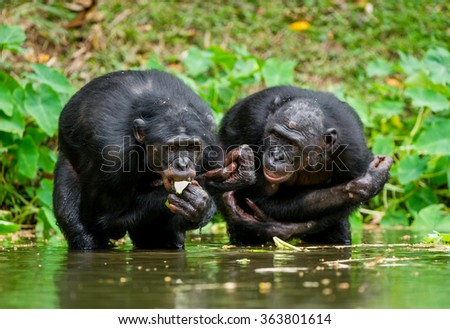 The chimpanzee Bonobo in the water. At a short distance, close up. The Bonobo ( Pan paniscus), called the pygmy chimpanzee. Democratic Republic of Congo. Africa  - stock photo