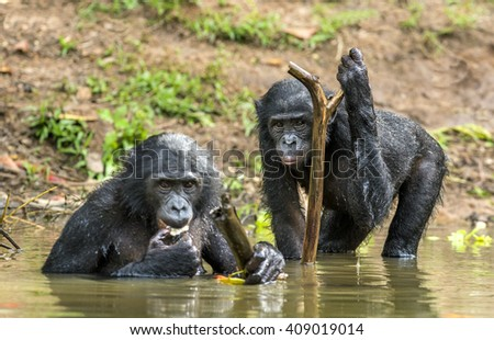 The chimpanzee Bonobos (Pan paniscus) in the water. Democratic Republic of Congo.     - stock photo
