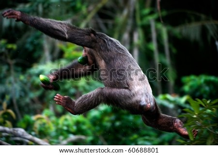 The chimpanzee escapes. A chimpanzee in a jump from a branch on a branch, in hands the stolen cucumber.