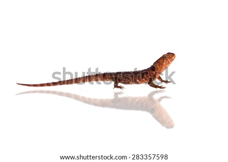 The chinese crocodile lizard on white