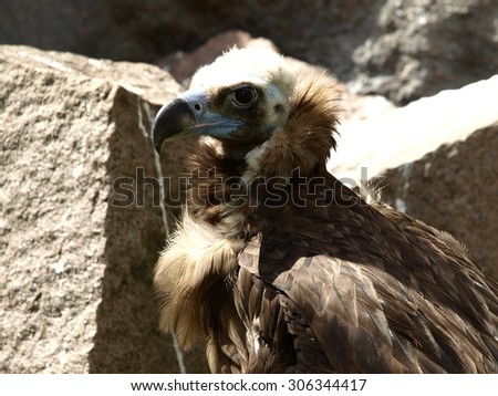 The Cinereous vultures (Aegypius monachus) on the rock