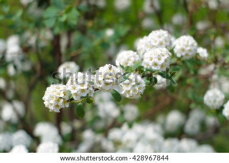 The clean fragrant branch of white acacia. Nature blossoms in the spring in parks and gardens. - stock photo