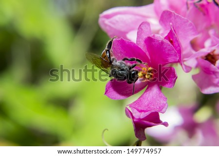 The close up Bee and Coral Vine or Confederate vine flower