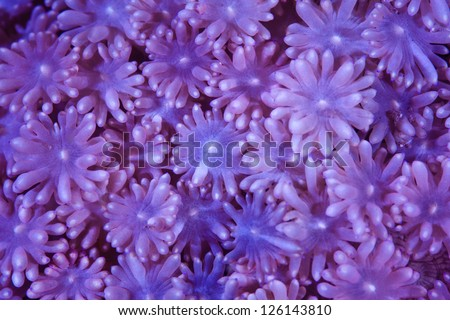 The close up detail of a coral reveals gorgeous colors, patterns, and textures.  Most reef-building species of corals have a symbiosis with zooxanthellae, a photosynthetic dinoflagellate. - stock photo