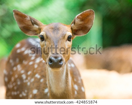 The close up face of Deer, are the ruminant mammals forming the family Cervidae.