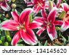 The close-up of lily flowers in a park. - stock photo