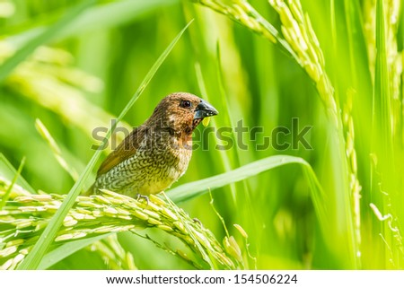 The close up of Scaly-breasted Munia with rice in her mount - stock photo