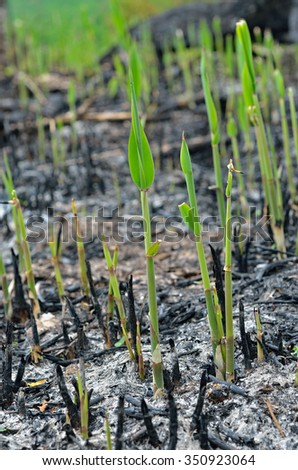 The close-up of young plantlets after fire. - stock photo