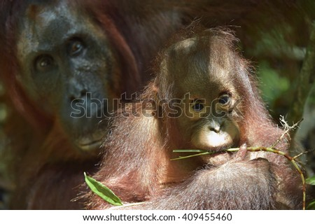 The close up portrait of a baby orangutan (Pongo pygmaeus) with mum . Borneo, Indonesia. - stock photo