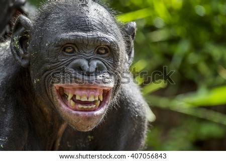 The close up portrait of Bonobo with smile. At a short distance. The Bonobo ( Pan paniscus), called the pygmy chimpanzee. Democratic Republic of Congo. Africa