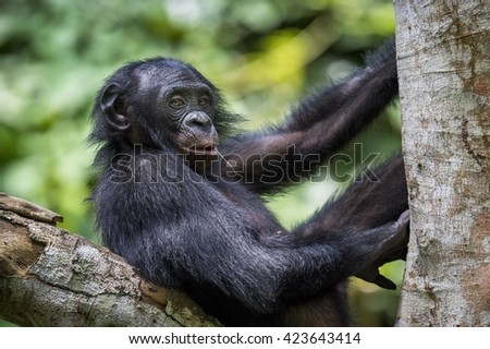 The close-up portrait of juvenile Bonobo on the tree in natural habitat. Green natural background. The Bonobo ( Pan paniscus). Democratic Republic of Congo. Africa - stock photo