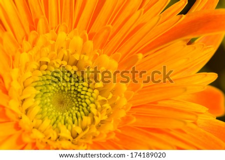 The close up view of orange marguerite