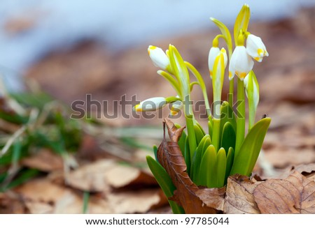 The close up view of the lilly of the valley flowers, surrounded by old leaves - stock photo