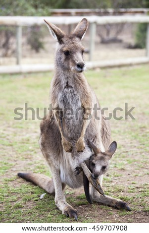The close view of kangaroo with a baby in Tasmanian wildlife park.