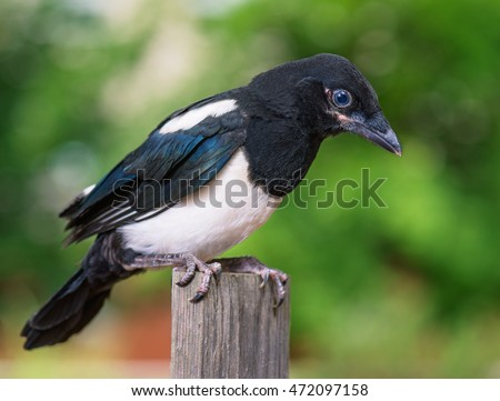 The close view of the nestling of magpie on wooden fence. Bird on green background.